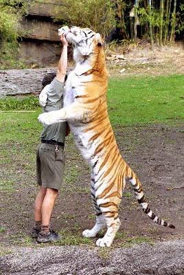 размер амурского тигра фото